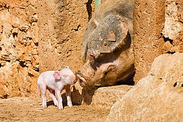 Domestic pig (Sus scrofa domesticus) piglet, mother with young, Mallorca, Majorca, Balearic Islands, Spain, Europe