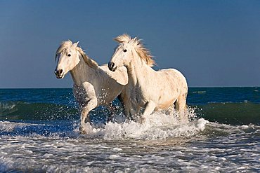 Camargue horses running through ocean water on the beach, Camargue, France, Europe