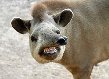 Portrait of a South American Tapir (Tapirus terrestris), Gran Chaco, Paraguay, South America