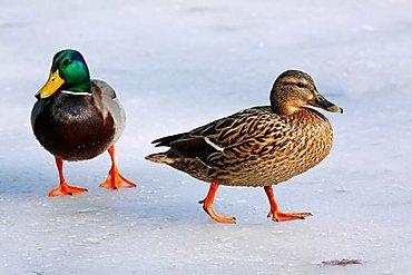 Mallard or Wild Duck (Anas platyrhynchos), drake and hen standing on ice in winter
