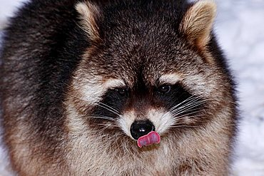 Raccoon (Procyon lotor) in winter, licking its nose with its tongue