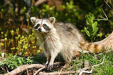 raccoon in Florida, USA