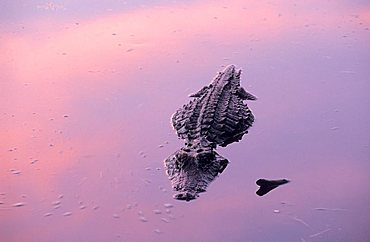 alligator of Okefenokee swamp in evening light, Georgia, USA