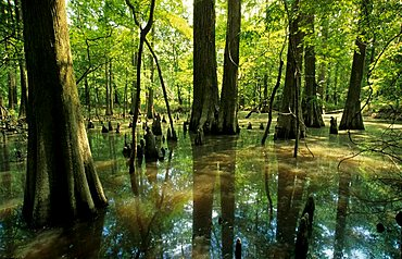 Bald cypresses in a bayou at Sabine river