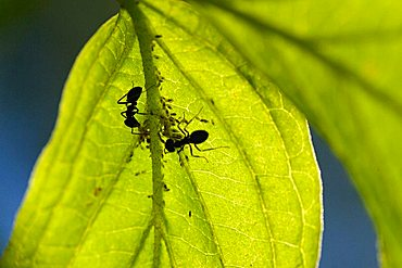 ants and greenflies (Aphidoidea )