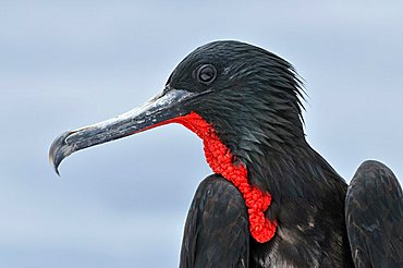 Portrait of a Great Frigatebird (Fregata minor), North Seymour Island, Galapagos, Ecuador, South America