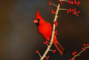 Northern Cardinal (Cardinalis cardinalis), male eating Possum Haw Holly (Ilex decidua) berries, Bandera, Hill Country, Texas, USA