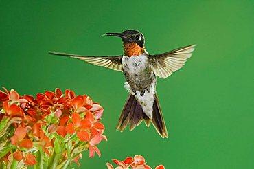 Ruby-throated Hummingbird (Archilochus colubris), male in flight feeding on Kalanchoe Flower, New Braunfels, Hill Country, Texas, USA