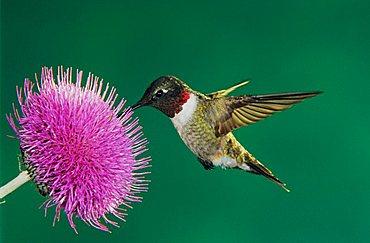 Ruby-throated Hummingbird (Archilochus colubris), male feeding on Texas Thistle (Cirsium texanum), Sinton, Corpus Christi, Coastal Bend, Texas, USA