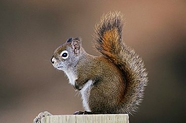 Red Squirrel, Pine Squirrel (Tamiasciurus hudsonicus), adult, Homer, Alaska, USA