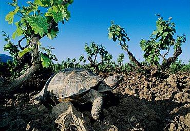 Herman's Tortoise (Testudo hermanni), adult in vineyard, Samos, Greek island, Greece, Europe