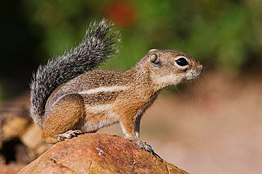 Harris's Antelope Squirrel (Ammospermophilus harrisii), adult on branch, Tucson, Arizona, USA
