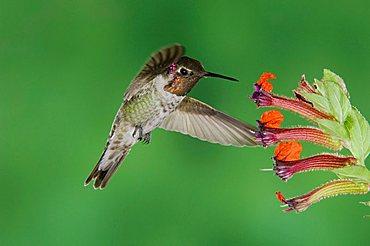 Anna's Hummingbird (Calypte anna), male in flight feeding on flower, Tucson, Sonoran Desert, Arizona, USA