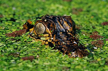 American Alligator (Alligator mississipiensis), young in duckweed camouflaged, Sinton, Coastal Bend, South Texas, USA