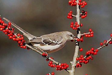 Northern Mockingbird (Mimus polyglottos), adult eating Possum Haw Holly (Ilex decidua) berries, Bandera, Hill Country, Texas, USA
