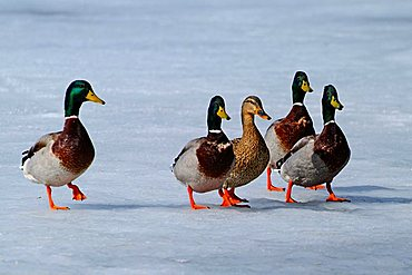 Mallard Ducks (Anas platyrhynchos), Lake Reintaler See, Tyrol, Austria, Europe