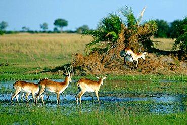 Lechwe or Southern Lechwe (Kobus leche), Okavango Delta, Botswana, Africa