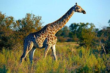 Angolan Giraffe or Smoky Giraffe (Giraffa camelopardalis angolensis), Okavango Delta, Botswana, Africa