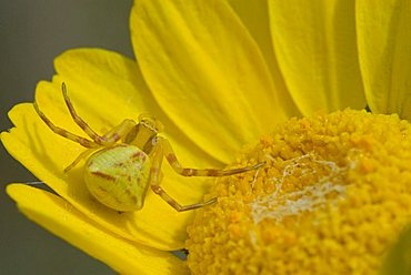 Crab spider (Thomisus onustus), which uses its forelegs to capture any insect seeking to pollinate the flower, lurking in a blossom, Frejus, Fréjus, Var, France, Europe