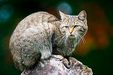 european wildcat (Felis sylvestris), captive