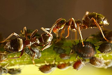 ants and aphids (Aphididae), Germany