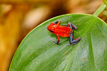 "Red and Blue ""Blue Jeans"" poison dart frog, Strawberry Poison Dart Frog, Poisoned dart frog, poison arrow frog, Bluejeans frog, Dendrobates pumilio, Costa Rica"