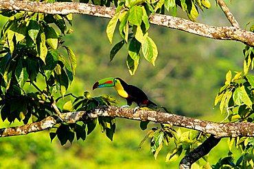Keel billed Toucan, Ramphastos sulfuratus, Costa Rica