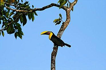 Chestnut-mandibled Toucan (Ramphastos swainsonii), Costa Rica