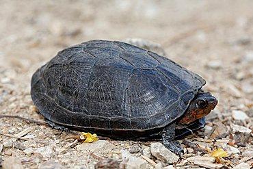 turtle, Palo Verde National Park, Guanacaste, Costa Rica