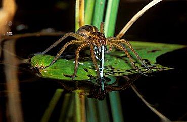 Raft spider (Dolomedes fimbriatus) eating damslefly, Germany