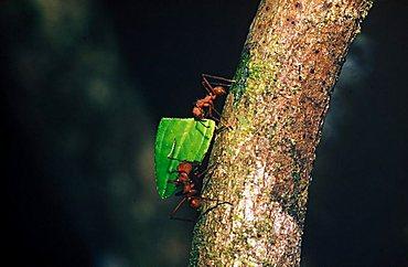 Leaf cutter ants - Costa Rica
