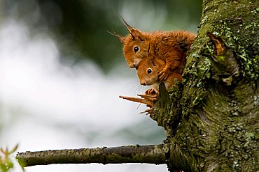 Two Red Squirrels (Sciurus vulgaris) with wet fur, sitting on a branch, Hesse, Germany, Europe