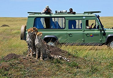 Three cheetahs (acinonyx jubatus ) sitting on a hill in front of a jeep with photographer and camera, Masai Mara National Game Reserve, Kenya, Africa