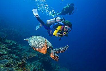 Young female scuba diver observing a Hawksbill Turtle (Eretmochelys imbricata), Caribbean, Honduras, Central America