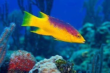 Spanish Hogfish or Hog Fish (Bodianus rufus), Roatan, Honduras, Caribbean