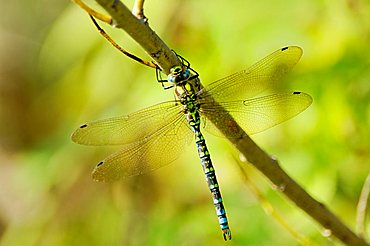 Southern Hawker (Aeshna cyanea, male) aka the Blue Darner