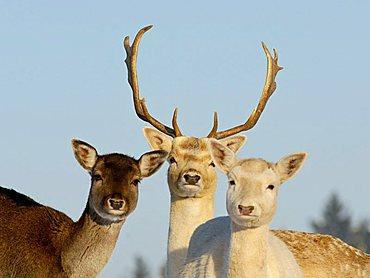 fallow deer at winter (captured animals)