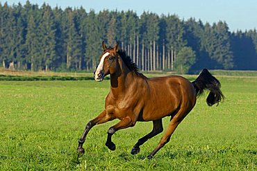 galloping Holstein breed horse