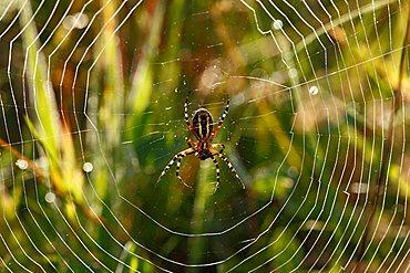 Wasp Spider (Argiope bruennichi) in a spider web, Bavaria, Germany