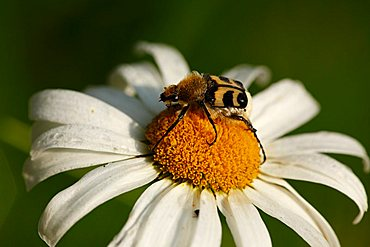 Bee beetle (Trichius fasciatus) on bloom of a daisy