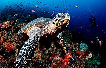 Hawksbill turtle (Eretmochelys imbricata), Komodo, Indo-Pacific, Indonesia, Southeast Asia, Asia