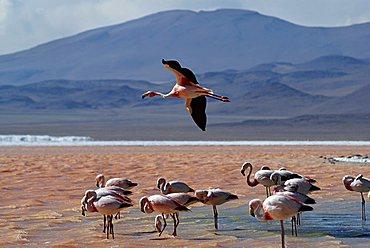 Andean Flamingo (Phoenicopterus andinus), Laguna Colorada, Uyuni Highlands, Bolivia