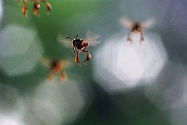 Flying bees, Amazon Basin, Brazil - 832-34720