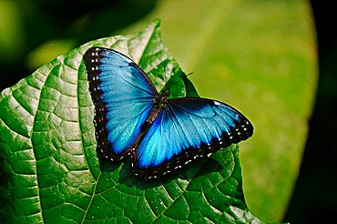 Morpho butterfly, Costa Rica, Central America - 832-35098