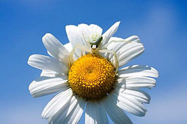Oxeye Daisy (Leucanthemum vulgare) and crab spider (Misumena vatia)