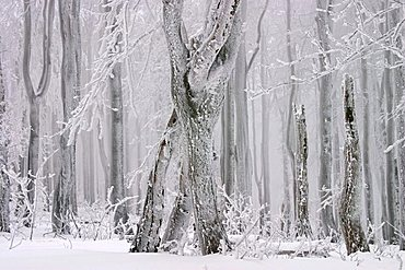Winter beech forest, Javorina national wilderness area, Bile Karpaty, White Carpathian Mountains, protected landscape area, Moravia, Czech Republic, Europe