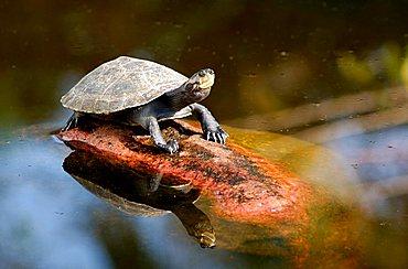 Yellow-spotted Amazon River Turtle Podocnemis unifilis Brazil