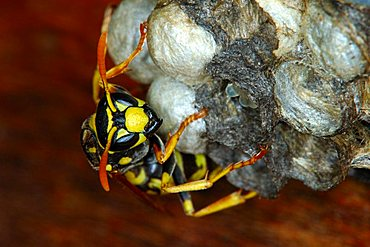 European or Dominulus paper wasp Polistes dominulus doing brood care at the nest