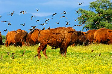 A flock of birds settling on an American Bison (Bison bison), in search of vermin in winter coat