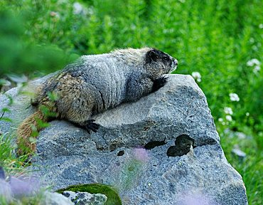 Marmot (Marmota) on a rock, Mount Rainier National Park, Washington, USA, North America